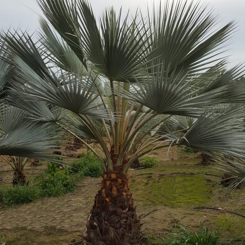 Brahea Armata Blue Palm in the ground