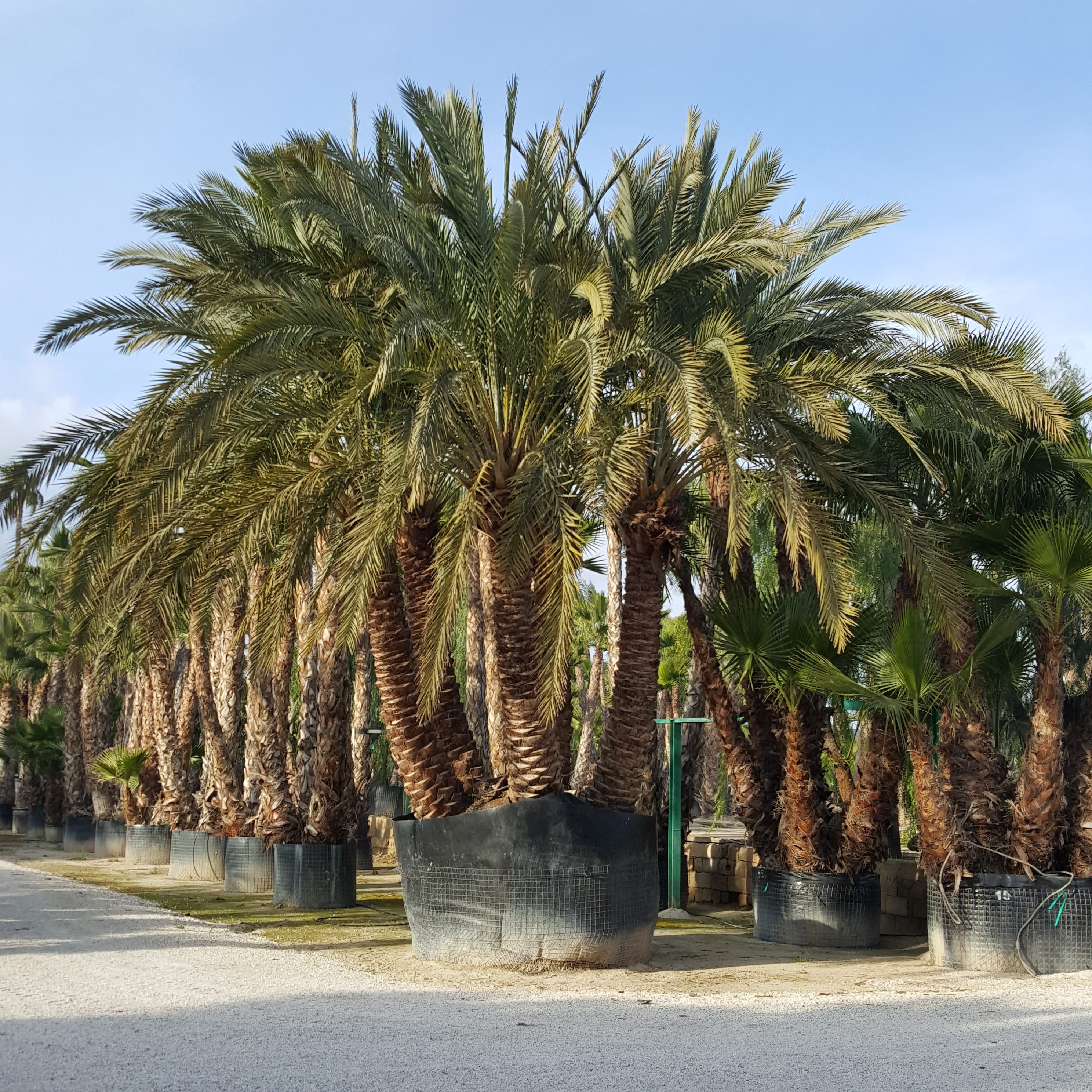Phoenix Canariensis Potted (1)