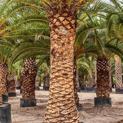 Phoenix Canariensis Potted (2)