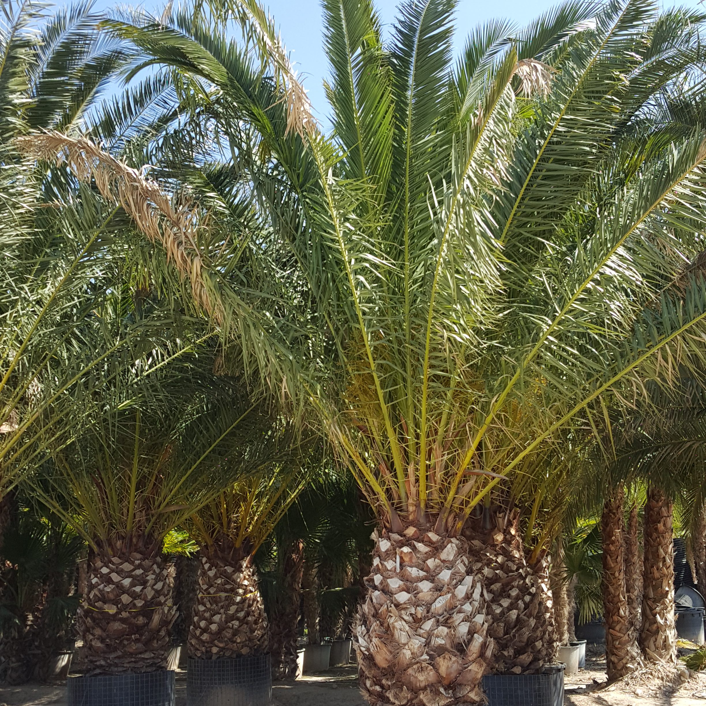 Phoenix Canariensis Potted (4)