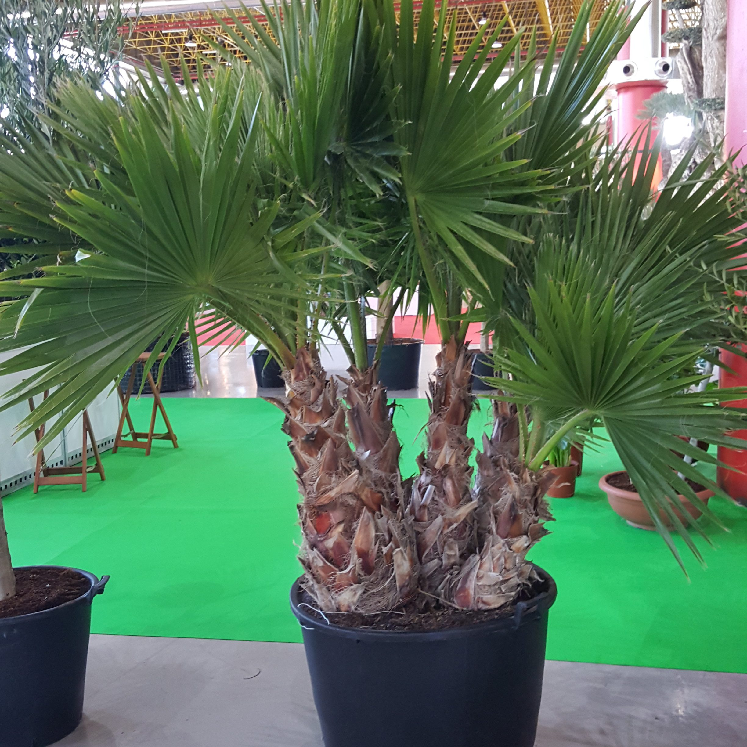 Washingtonia Multi trunk in pot 2017-02-01