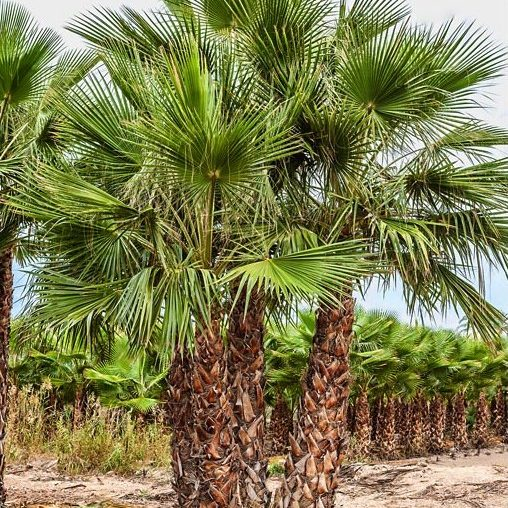 Washingtonia Robusta Multi trunk 350 to 400 in ground
