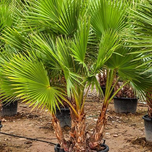 Washingtonia Robusta Multi trunk 40 to 50cm trunks