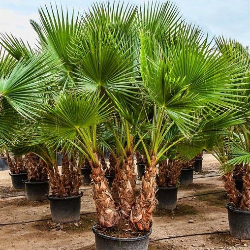 Washingtonia Robusta Multi trunk 40 to 60cm trunks