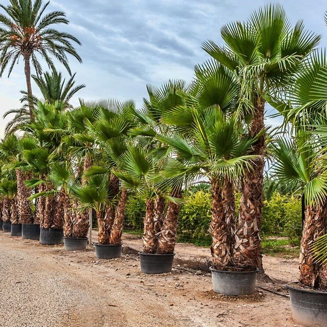 Washingtonia Robusta Triple trunk 200 to 250cm trunk
