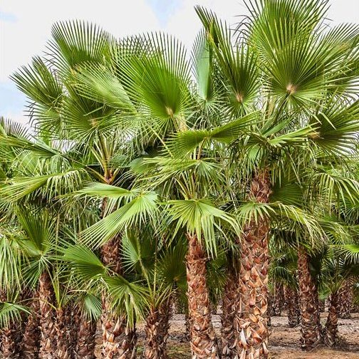 Washingtonia Robusta Triple trunk 200 to 350 in ground