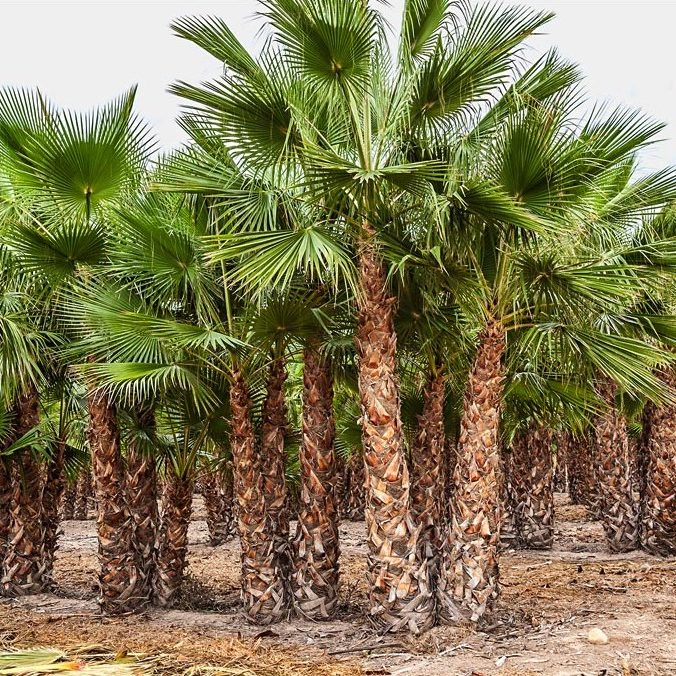Washingtonia Robusta Triple trunk 250 to 400 in ground