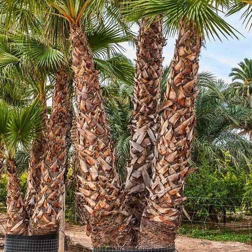 Washingtonia Robusta Triple trunk 300 to 400cm trunk