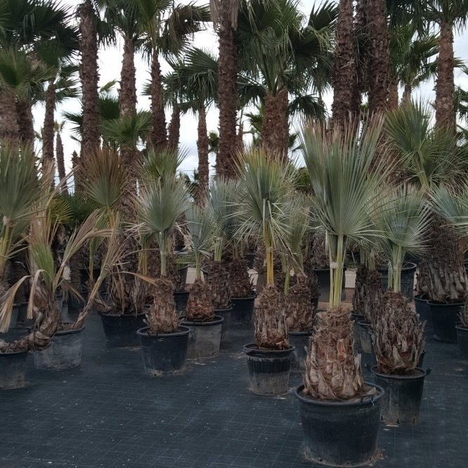 Mexican Blue Palm Trees in pots