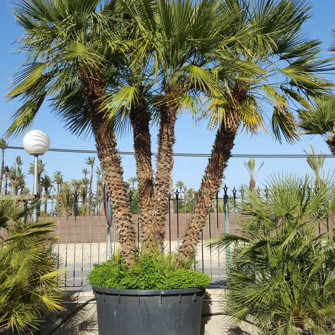 Chamaerops Humilis Palm Trees - Mediterranean Fan Palm